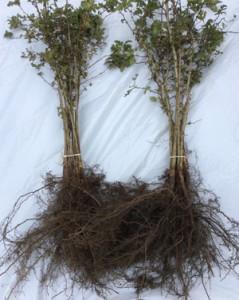 plant met wortel 2